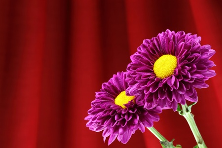 Close-up chrysanthemum flowers on a purple background decoration. photo