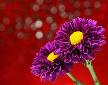 Close-up chrysanthemum flowers on a purple background decoration. Stock Photo - 18288041