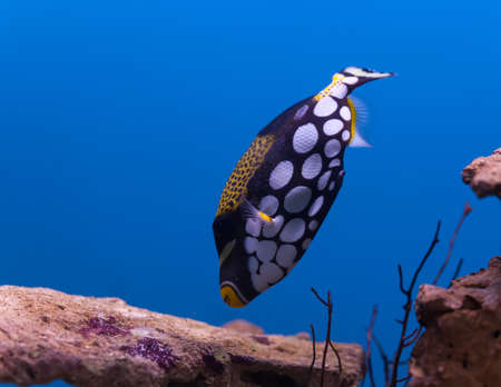 clown triggerfish: Clown Triggerfish Balistoides conspicillum (Bloch)