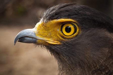 Serpent-Eagle close-up face.(Spilornis cheela) photo