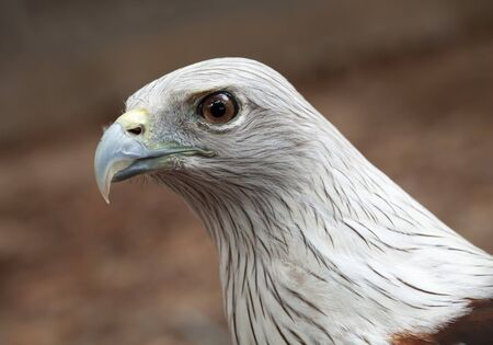 Close-up face of a red hawk. photo