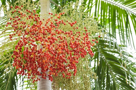 Betel palm and ripe fruit  photo