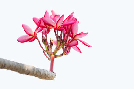Pink Plumeria on white background  photo