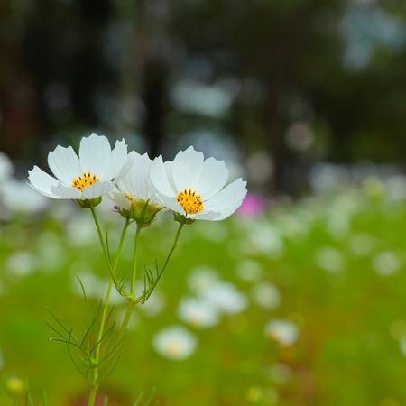 cav: flowers cosmos against the blue sky.( Cosmos sulphureus Cav.) Stock Photo