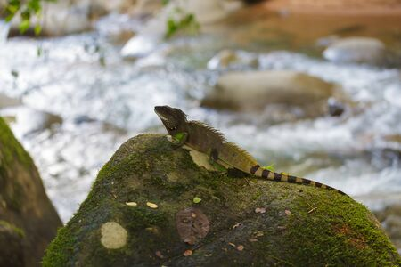 tropical evergreen forest: Chinese water dragon sunbathing on a rock waterfall.Physignathus cocincinus Stock Photo