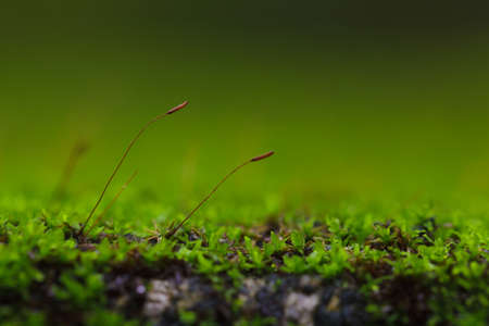 tropical evergreen forest: Flowers of the moss in close-up.