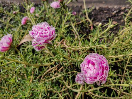 The portulaca blossom in garden. Zdjęcie Seryjne