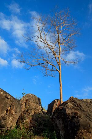 solitariness: A single dry tree,The tree is on the rocks Dark blue sky backdrop. Stock Photo