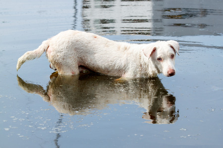 White stray dog standing in water with poor eyes. Stock Photo