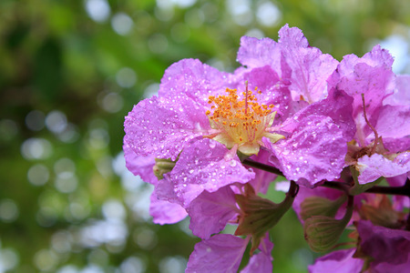 myrtales: Lagerstroemia speciosa tree A species commonly found in the lowlands and along the banks of the creek in moist mixed deciduous and evergreen.