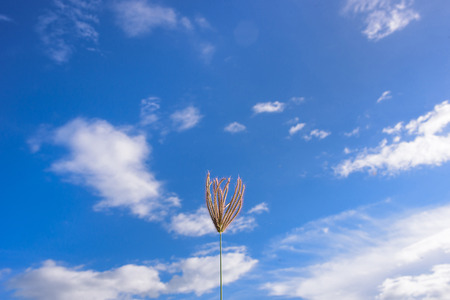 Flower of grass surrounded by a cloudy blue sky. Stock Photo