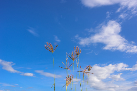 distinctness: Flower of grass surrounded by a cloudy blue sky. Stock Photo