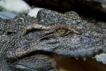 siamensis: Crocodile Eye; Freshwater crocodile, alligator swamp, crocodile, Siamese crocodile or freshwater species Thailand