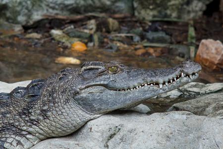 siamensis: Freshwater crocodile, alligator swamp, crocodile, Siamese crocodile or freshwater species Thailand