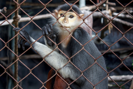 Monkey in a cage staring eyes downcast.Red-Shanked Douc Langur,Pygathrix nemaeus is a species of Old World monkey