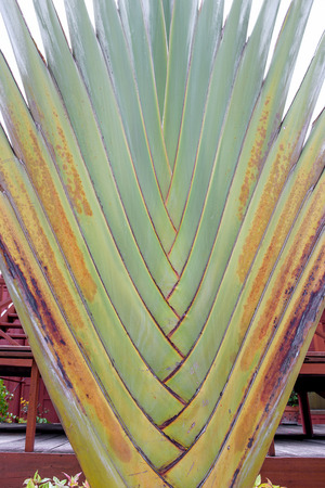 Ravenala is a plant that looks outstanding. Like palm trunk , banana leaves Stock Photo