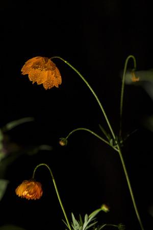 orange flowers on black background