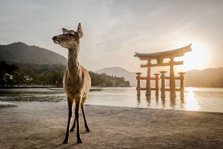 sunset with Japan gate O-Torii in Miyajima and deer
