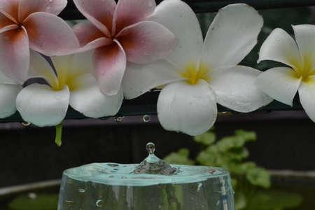 Frangipani flowers and droplets  Stock Photo