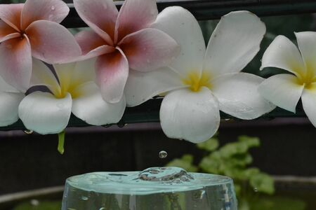 Water drops on flowers and frangipani