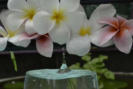 craig: Water drops on flowers  frangipani Stock Photo
