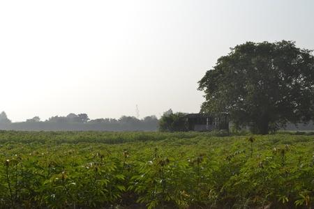 Cassava farm cottage