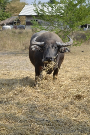Buffalo graze  photo