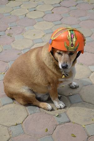 Dog wearing an orange cap  photo