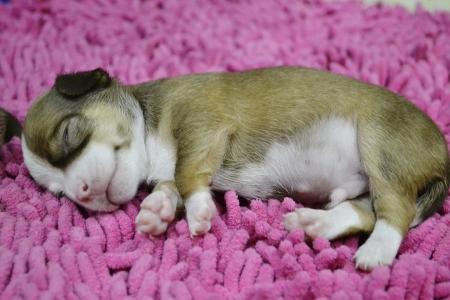 Chihuahua puppy breed photo