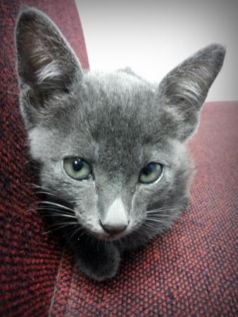Thailand cat - gray Stock Photo