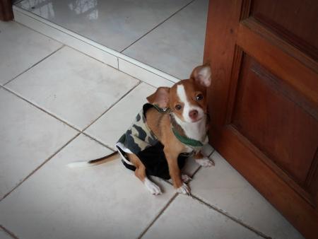 Puppy wearing shirt  photo