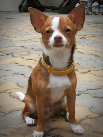 Chihuahua dog species - brown and white stripes photo