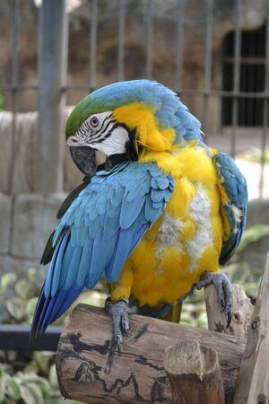 preening: Parrot