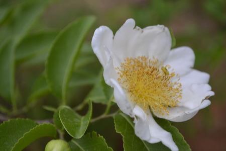 White flower pollen yellow. Stock Photo