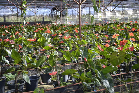 Anthurium flowers. Stock Photo