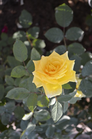 Yellow rose. Stock Photo