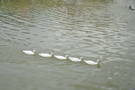 Poultry, ducks, geese in the water sector. Stock Photo