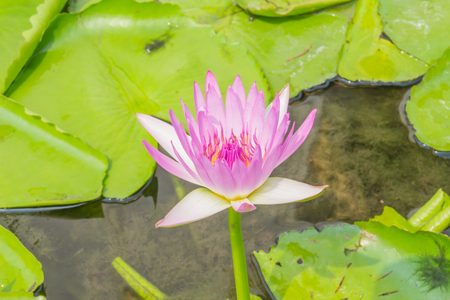 purple lotus,purple waterlily photo