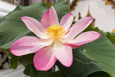 purple lotus,purple waterlily photo