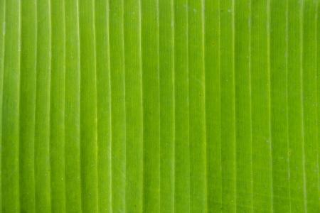 close up banana leaf texture as background Stok Fotoğraf