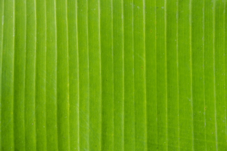 close up bananenblad textuur als achtergrond
