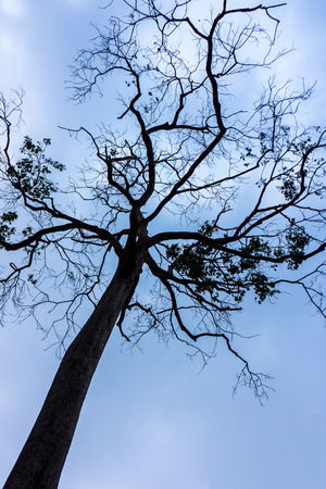 sillouette: tree branch sillouette with evening blue sky Stock Photo