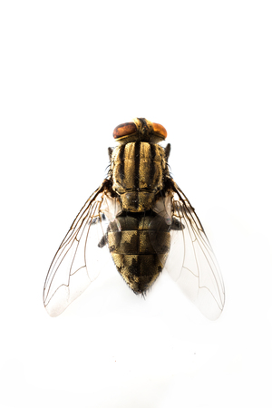 hairy back: top view of a fly