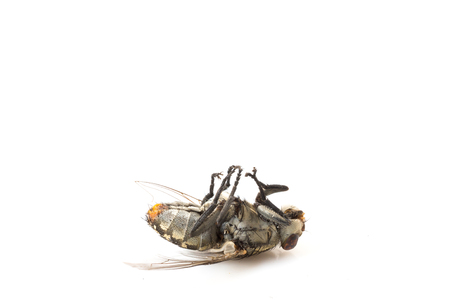 a dead fly on white
