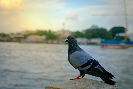 lovebirds: one Pigeons near water , birds, blue birds in the way Stock Photo