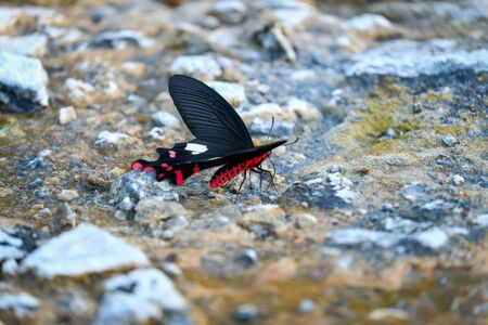 a rare butterfly (Euthalia irrubescens fulguralis) with beautiful red lightning pattern rock at waterside in the day,Thailand Stock Photo
