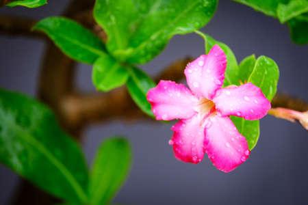 Rain drop on Azalea flowers, Impala Lily or Desert Rose or Mock Azalea, beautiful pink flower in garden.