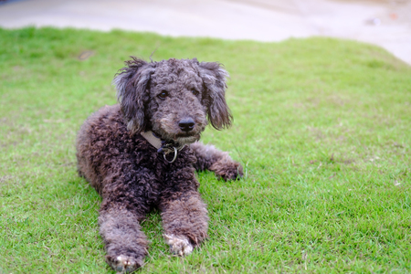 Little black poodle dog on green grass, Thailand