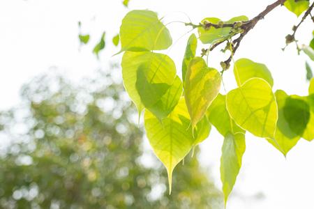 Green leaf Pho leaf, Bo leaf have v-shape or heart shape Foto de archivo