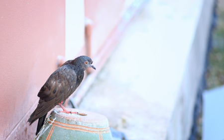 A bird fluffy ruffled sick pigeon is sitting on pot